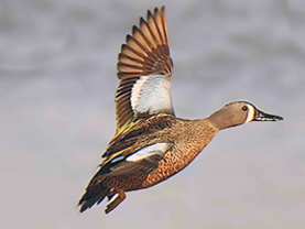Blue-winged Teal by Alan Lenk